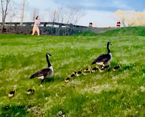 Geese, goslings, jogger
